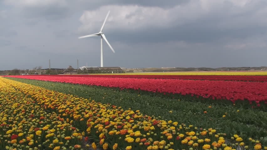 Tulips field, windmill power station, Alkmaar, Denmark - HD stock footage clip