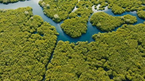 Aerial view of mangrove forest and river on the Siargao island. Mangrove jungles, trees, river. Mangrove landscape. Philippines. 4K video. Aerial footage