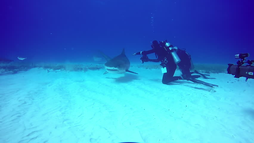 Big Bull Shark with divers underwater on sandy bottom of Tiger Beach Bahamas. Extreme scuba diving. Swimming with a predator in pure blue water of Atlantic Ocean. Unique video. | Shutterstock HD Video #33564529