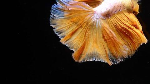 Siamese fighting betta fish movement in slow motion