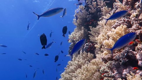 Coral wall with school of swimming tropical fish. Scuba diving on the coral reef with ocean wildlife.