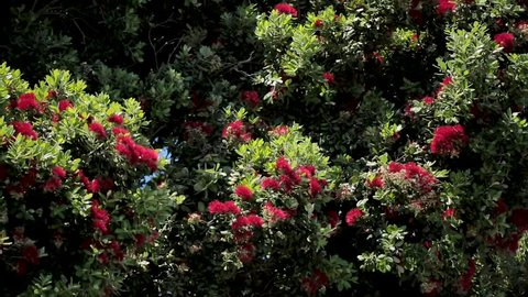 New Zealand Pohutukawa in Blossom with Bees