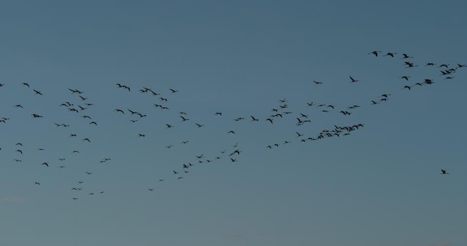 Lesser Flamingo, phoenicopterus minor, Group in Flight, Colony at Bogoria Lake in Kenya, Slow Motion 4K