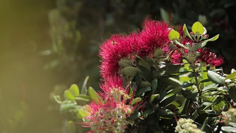Pohutukawa Trees in Summer with Bees