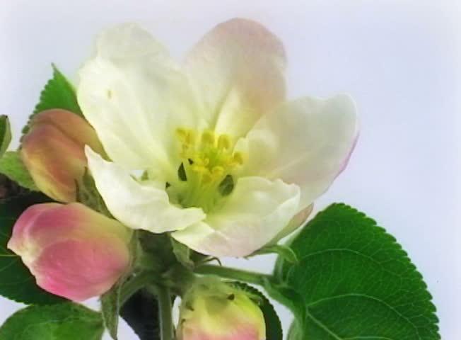 Timelapse blooming apple flowers