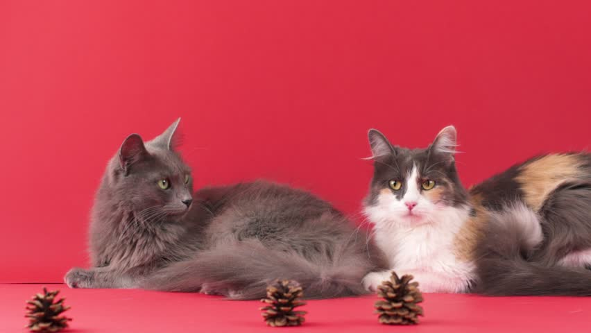 SLOW MOTION: Portrait of a beautiful purebreed Nebelung cat and Turkish Angora cat, isolated on red.