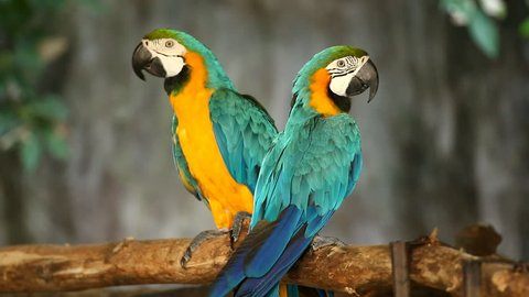 macaw  in chiangmai Thailand