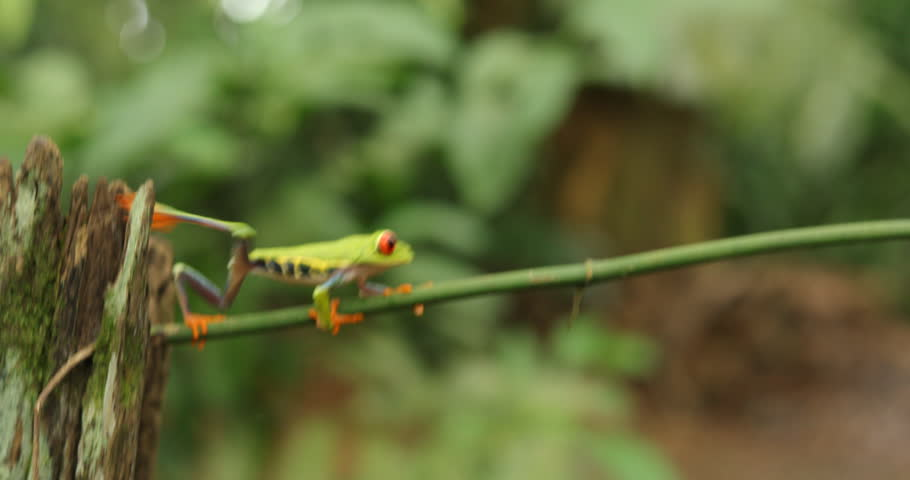 Funny frog walk. Beautiful exotic animal from central America. Red-eyed Tree Frog, Agalychnis callidryas, animal with big red eyes, in the nature habitat, Panama. Frog in the nature. Beautiful frog.
