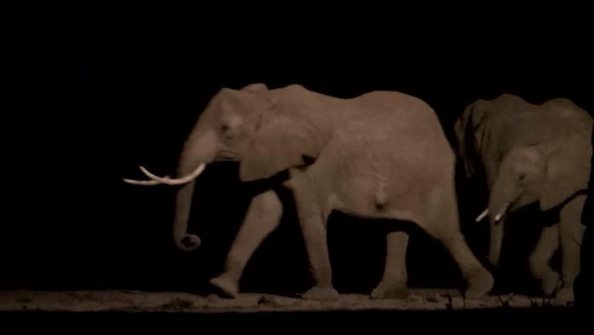 African elephants (Loxodonta africana) walking at night