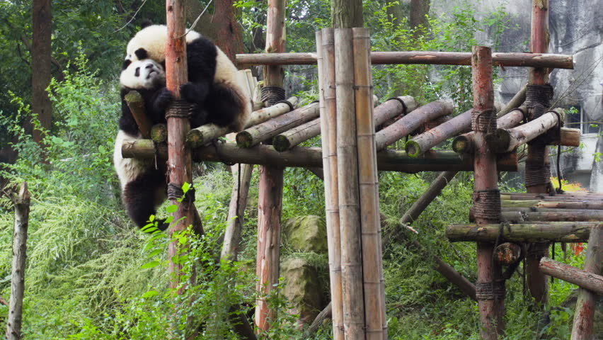 Two cute happy young giant pandas playing together and having fun. Funny panda bears among green trees. Amazing wild animals. #34261498