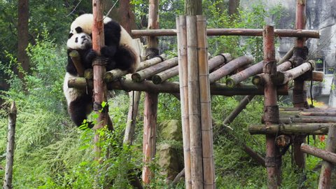 Two cute happy young giant pandas playing together and having fun. Funny panda bears among green trees. Amazing wild animals.