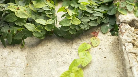 Green ivy on the wall. 4k, slow motion