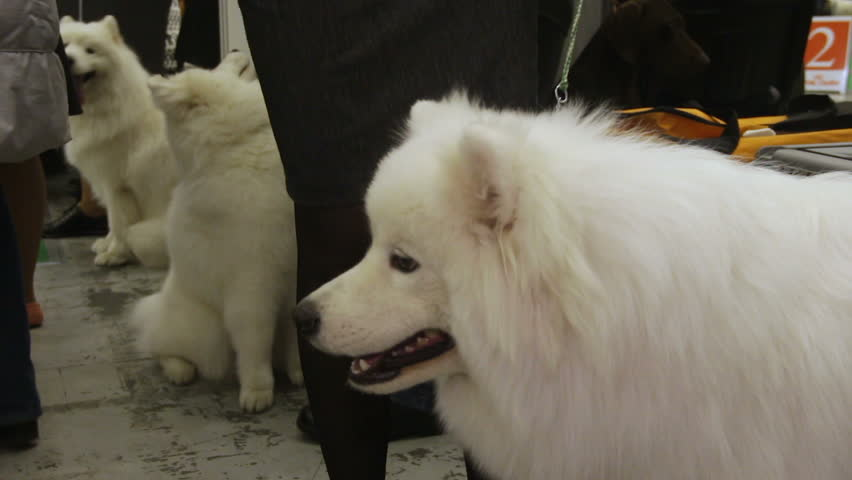 Exhibition of purebred dogs, beautiful fluffy American Eskimo sitting near owner