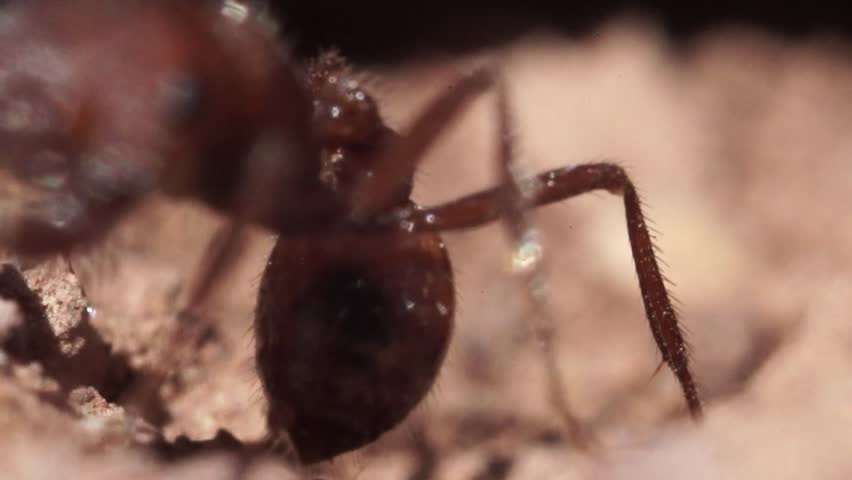 Ants Coming Out Carrying Rock in Super Macro Slow Motion CloseUp
