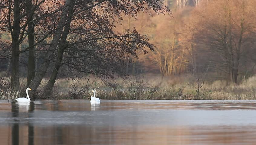 Swan on lake in sunny day, swans on pond, nature series | Shutterstock HD Video #34363198