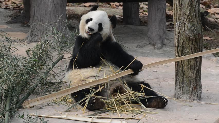Giant Panda eating bamboo near Chengdu, Sichuan Province, China HD video | Shutterstock HD Video #34422358