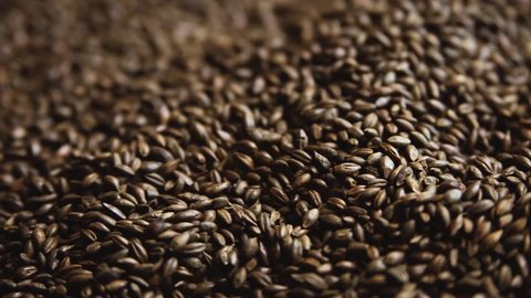 Chocolate brewers malt grains. Dry malt beans ready to be used to brew the beer or the pure light or dark malt whiskey concept of.