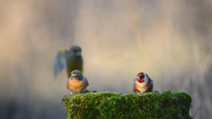 Brambling (Fringilla montifringilla), Goldfinch (Carduelis carduelis) and European Green finch (Carduelis chloris) sitting on the winter bird feeder