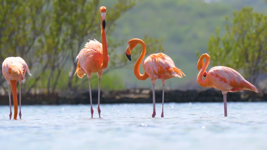 Flamingo birds standing in a river.
