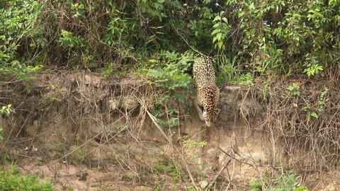 Jaguar (Panthera onca) walking down from riverbank into the river in the Pantanal wetlands, Brazil