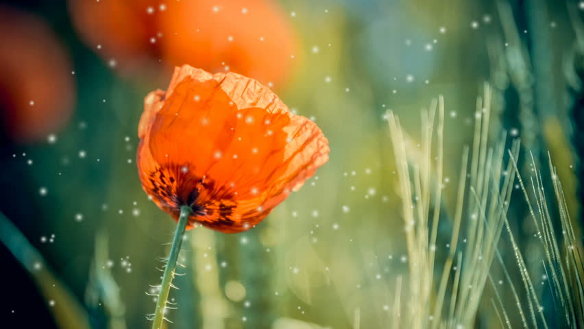 Flowers red poppy close-up in green plants in the spring with many soft flying white poplar fluff. Cinemagraph seamless loop animation motion gif render background