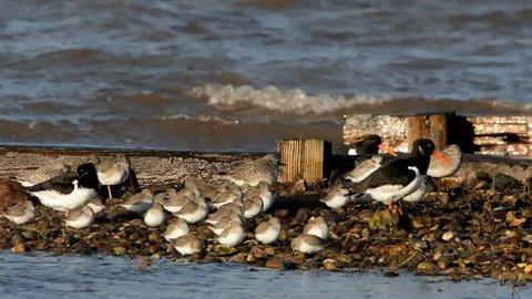 Eurasian Oystercatcher, Grey Plover and Dunlin