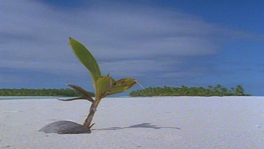 Coconut seedling on beach sprouting leaves