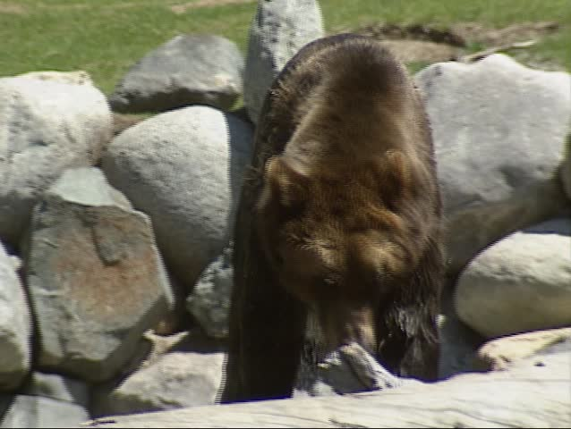 Grizzly bear over boulders