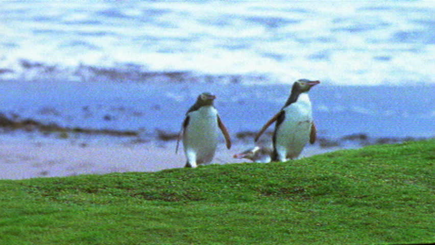 Group of Yellow-eyed Penguin