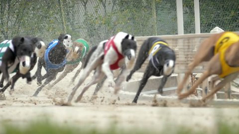 Greyhound dogs running around race track in slow motion