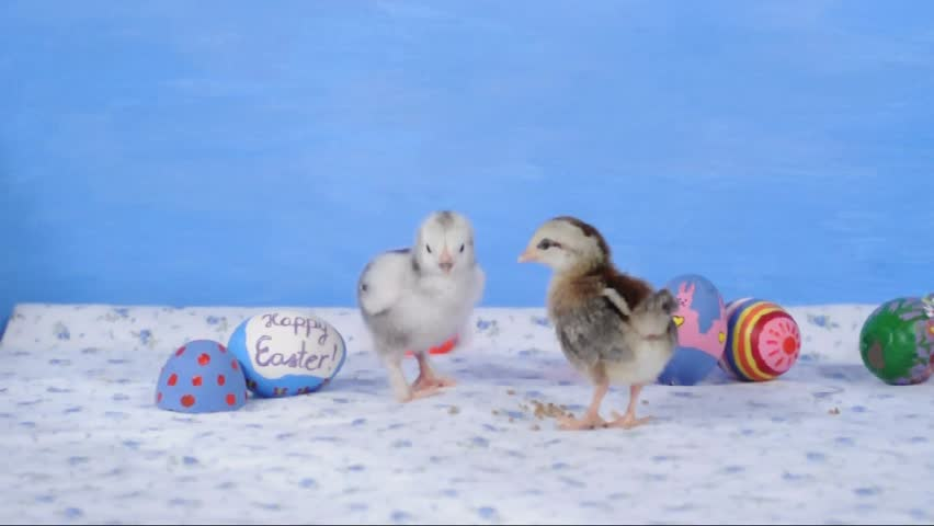 Two tiny chicks with Easter eggs