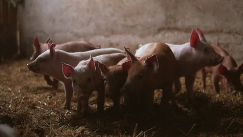 Pigs at pig farm. Group of pigs at farm. Group of animal. Slow motion of animals.