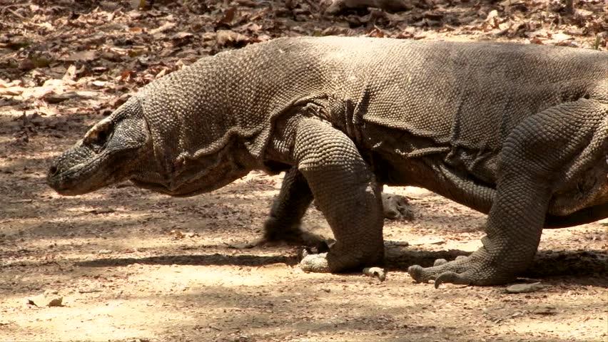 Komodo Dragon Walking Away - Komodo Island, Indonesia