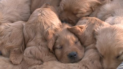 litter of Golden Retriever puppies snuggling together
