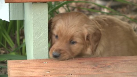 clumsy Golden Retriever puppy playing outside