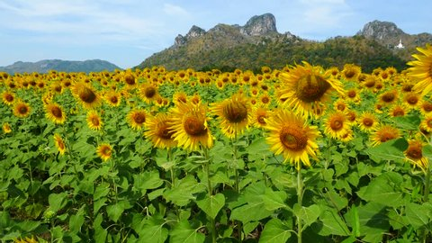 A sunflower field at Jeenlae Mountain in Lop Buri Thailand