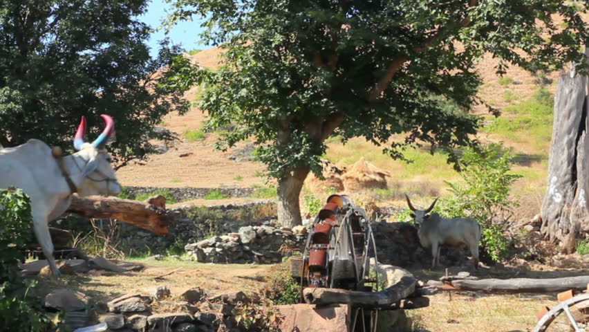 UDAIPUR, INDIA - NOV 25: Bull turning well waterwheel in Udaipur, India on