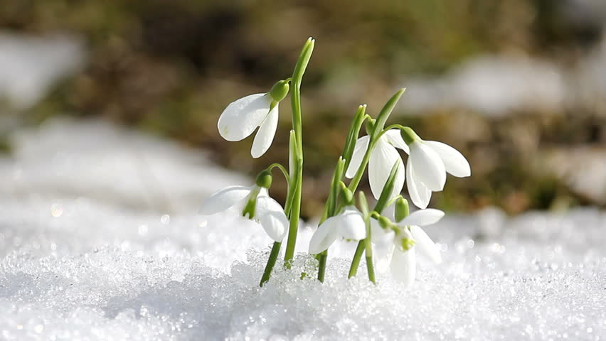 Image result for snowdrop flowers in snow