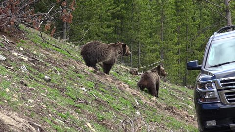 Wild grizzly bear with cub near the road  in Yellowstone National Park. Wyoming, USA