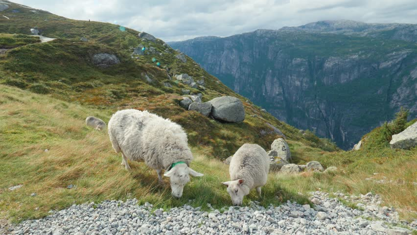 Long Shot. Amazing Norwegian landscape. Herd of sheeps graze on beautiful yellow green meadow, on hill. Typical Nordic wind and overcast. Sheep eat grass on top mountain. High mountains in background