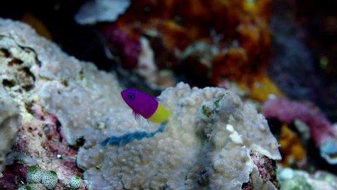 Bicolor Dottyback (Pictichromis paccagnella),or the Royal Dottyback or False Gramma, WAKTOBI, Indonesia,slow motion