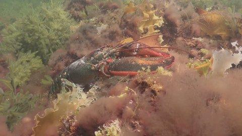 Atlantic Lobster in natural habitat