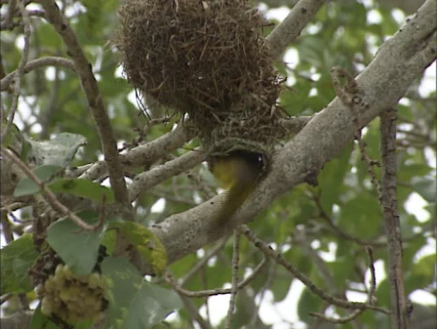 Lesser Masked Weaver, Ploceus intermedius, building nest in Kruger National Park.  The males are responsible for building the nests