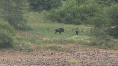 herd of klipspringer and wildebeest grazing near a dry river bed