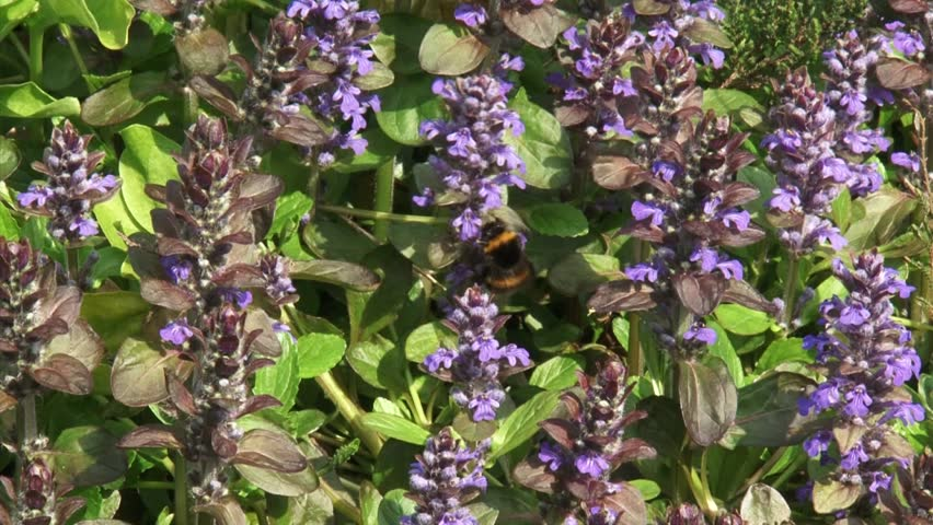 Header of Ajuga reptans