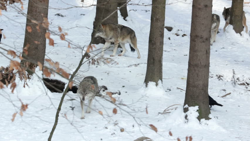 Pack of gray wolves (Canis lupus) after lunch  in a forest with snow-covered soil, in winter. Some carrion crows (Corvus corone) and common ravens (Corvus corax) on the  carrion of large mammal.