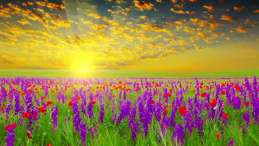 Video Stock A Tema Field Of Spring Flowers At 100 Royalty Free