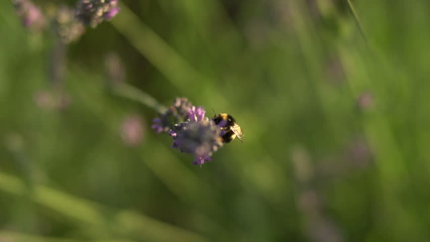 Bumblebee on lavender field
