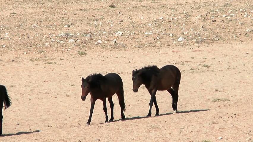 wild horses in namibian desert walking in file