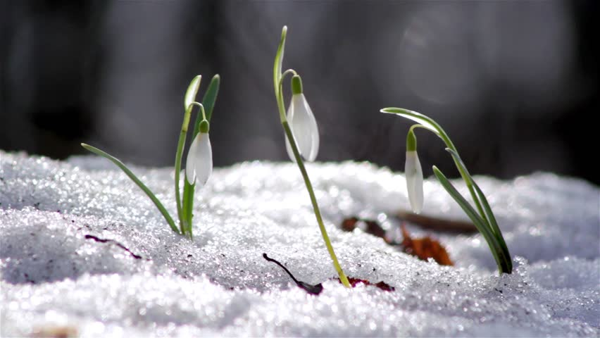 First spring flowers snowdrops in stock footage video 100 royalty first spring flowers snowdrops in the woods wild white snowdrops in the snow beautiful mightylinksfo